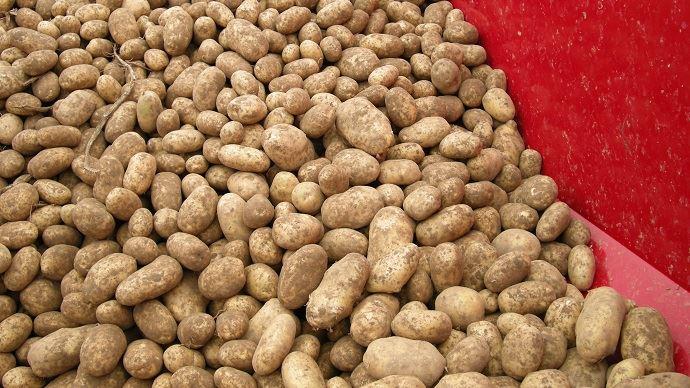 Le rendement brut annuel 2018 en pommes de terre de conservation s'établit à 41t/ha en France. (©TNC)