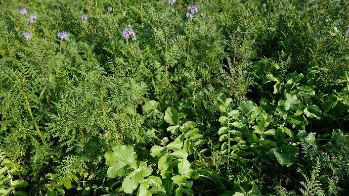La phacélie, plante mellifère, est la valeur sûre des couverts destinés à nourrir le sol: on la retrouve dans toutes les compositions testées par Eilyps sur sa plateforme (ici avec du radis chinois). (©Nathalie Tiers)