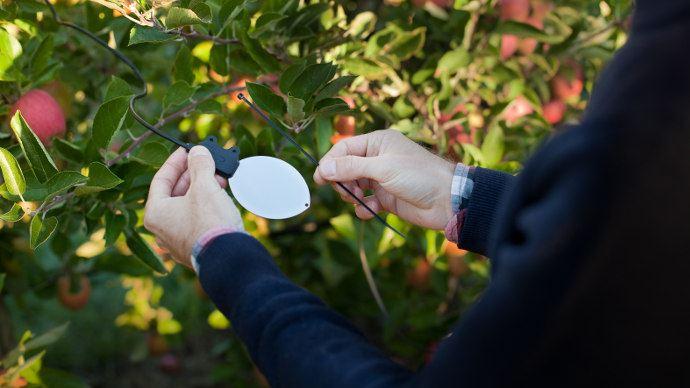 En plus de l'humectation et de l'hygrométrie, le capteur Leafcrop relève la température «humide» (©Sencrop)