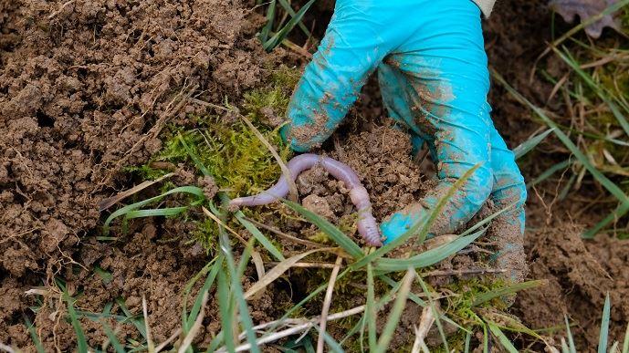 En présence de vers de terre, l'intensité microbienne est amplifiée quelle que soit la culture ou l'association de cultures. (©Nathalie Tiers)