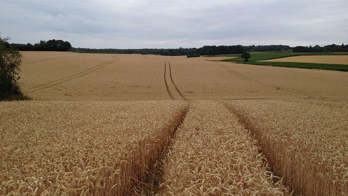 En Russie, sauf incident climatique majeur, la récolte 2019 de blé pourrait dépasser les 80 Mt, soit la deuxième plus forte production après le record de 2017. (©TNC)