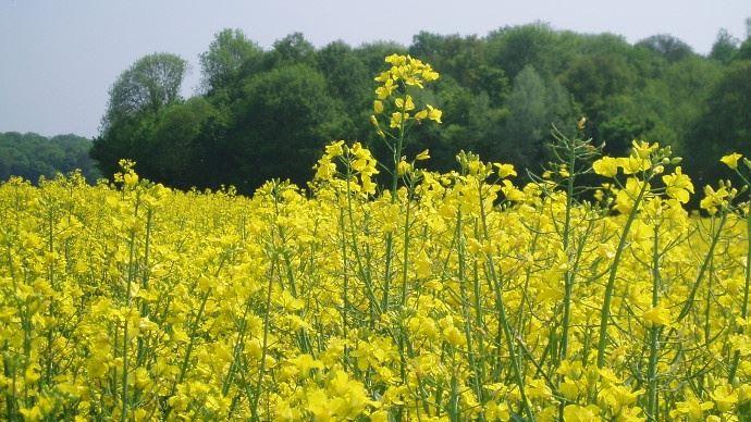 En Europe, les cours du colza sont soutenus à court-terme par la demande en biodiesel de colza sur la période hivernale. Mais cette demande devrait s'estomper en avançant vers le printemps. (©TNC)