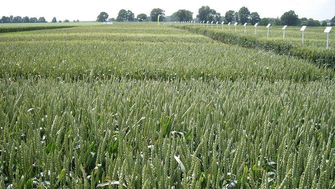 La liste des blés meuniers de l'ANMF compte désormais 161 variétés. (©TNC)