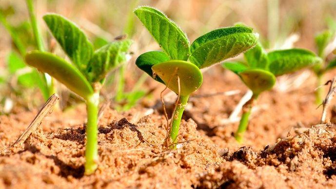 La filière soja française ambitionne de développer la culture sur 250000ha d'ici 2025, contre 154000 en 2018. (©TNC)