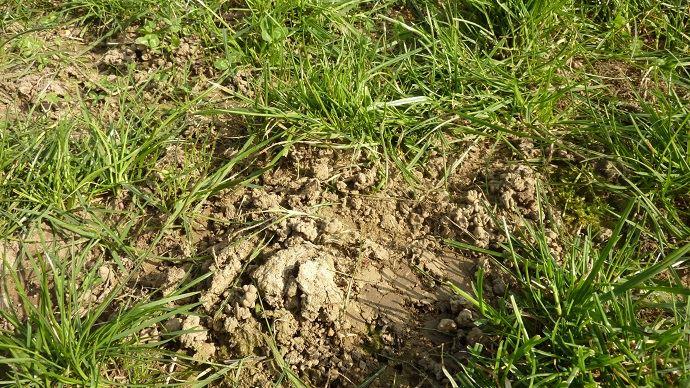 Un vide trop grand dans une prairie laisse la place aux adventices, il convient de sursemer. (©Gnis)