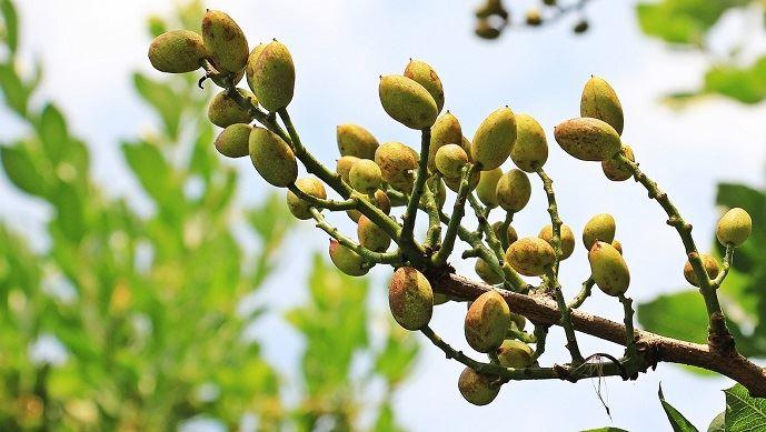 Jean-Louis Joseph a fondé une association chargée de promouvoir la culture du pistachier «local». (©Pixabay)
