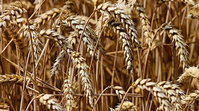 Les semences de ferme représentent 50% des semences utilisées par les agriculteurs. 60% des semences de ferme sont triées par des trieurs à façon. (©Pixabay)