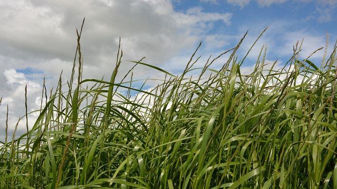 Le prélèvement pour l'analyse d'herbe est à faire au printemps (entre 15 et 25 cm de hauteur). (©TNC)