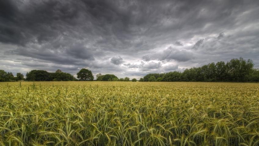 Conséquences des fortes pluies de juin 2016 : les cultures germent sur pied et près de 40 % de la récolte est perdue. (©Fotolia)