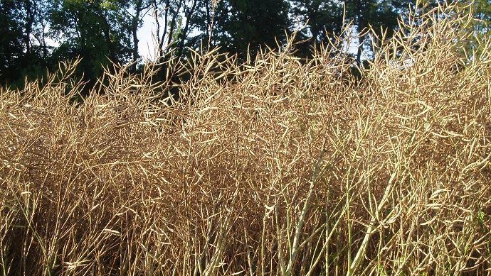 La régression des surfaces de colza entraîne un fort recul de la production, estimée à 3,6 Mt. (©TNC)