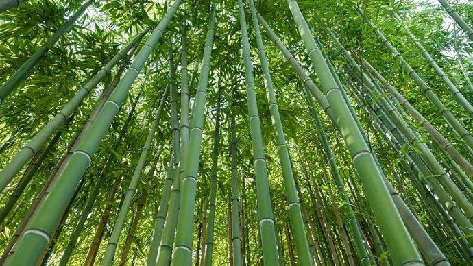 Le bambou géant: une possible filière d'avenir en France? (©Fotolia)