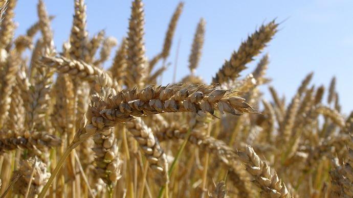 La progression de rendement en blé tendre est particulièrement importante dans les régions Franche-Comté et Bretagne. (©TNC)