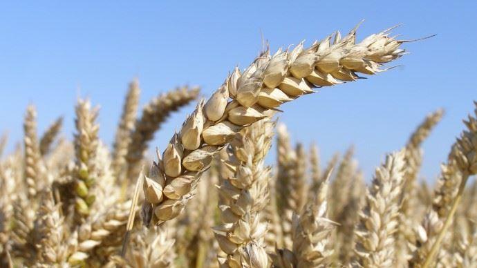 Le cours du blé a également souffert du haut niveau du dollar. (©TNC)