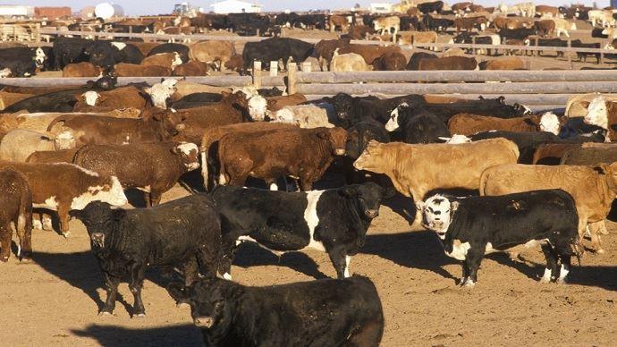 La première année,les exportations de bœuf américainsans droits de douane vont s'accroître de 46%, au cours des sept prochaines années, elles vont augmenter de 90% supplémentaires.(©Fotolia)