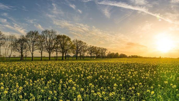 Lerendement moyen s'établit à 32 quintaux à l'hectare.(©Pixabay)