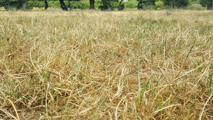 Avec la sécheresse, les prairies sont fortement dégradées. En revanche, les conditions sont favorables au sursemis. (©TNC)