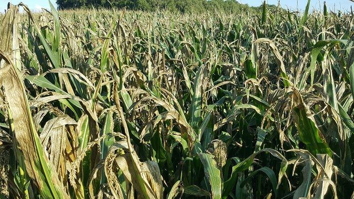 Selon Agreste, le rendement moyen en maïs fourrage est de 11,6t MS/ha pour la récolte 2019. (©TNC)