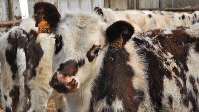 Même si les cours annoncent une légère hausse, le prix des veaux ne devrait plus atteindre de très hauts niveaux. La viande est en effet fortement délaissée. (©TNC)