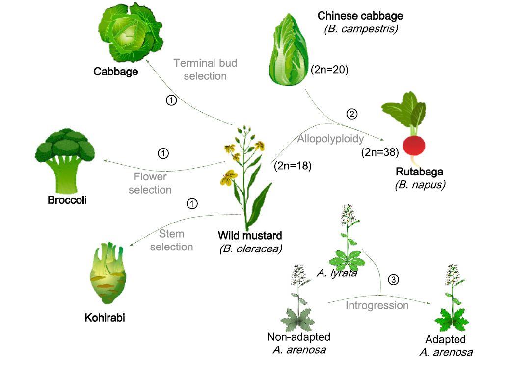 Une nouvelle espèce peut être façonnée de multiples façons, par exemple par la sélection d'organes spécifiques (1), ou par l'allopolyploïdie entre sous-espèces (2)
