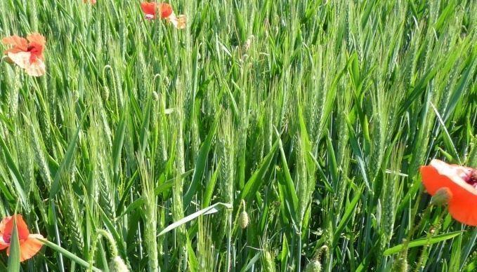 Le secteur grandes cultures bio compte aujourd'hui aux alentours de 513738ha labellisés, dont 194211 en conversion. (©TNC)