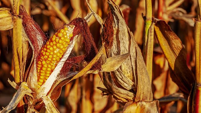Les imports de maïs au sein de l'Union européenne sont attendus à 17 Mt, selon l'AGPM. (©Pixabay)
