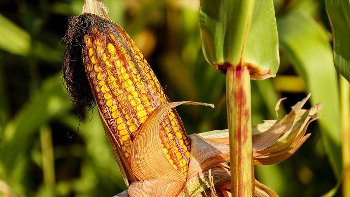 Seulement 58% du maïs américain est arrivé à maturité. (©Pixabay)