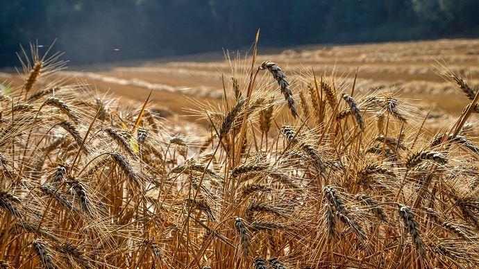 218 Mha de blé emblavés dans le monde en 2020/21 selon le CIC (©Pixabay)
