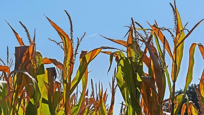 Depuis la fin des années 1970, l'intervalle entrela floraison et la récolte du maïss'est constamment réduit.(©Pixabay)