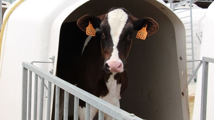 Une génisse présentant des lésions pulmonaires durant ses 2 premiers mois de vie aura une production laitière inférieur de 550kg de lait sur sa première lactation. (©TNC)