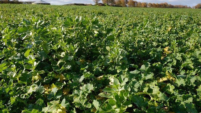 Parmi les trois plantes compagnes utilisées, seule la féverole s'est vraiment bien développée. Fenugrec et lentille sont à la peine en raison de la sécheresse au semis. (©Nathalie Tiers)
