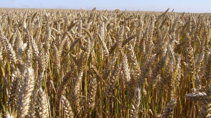 L'USDA a estimé que les agriculteurs avaient semé 30,8 millions d'acre de blé d'hiver, contre 31,2 millions l'an dernier. (©TNC)