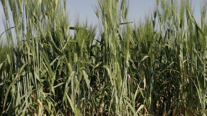 Selon l'Inrae, «les paramètres les plus importants pour favoriser la coopération sont facilement manipulables par un sélectionneur ou un agriculteur». (©Inrae)