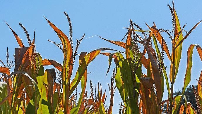 Les variétés labellisées sont sélectionnées pour leur bon rendement en situation normale et leur capacité à mieux se comporter en cas de stress hydrique à différentes périodes-clés», résume Jean-Marie Lézé, chef marché semences maïs grain Dekalb. (©Pixabay)