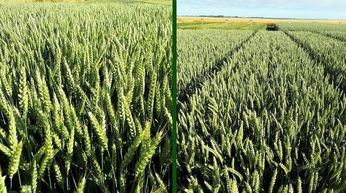 À gauche, la variété hybride Hyligo et à droite, la variété lignée Su Trasco. (©Saaten-Union)