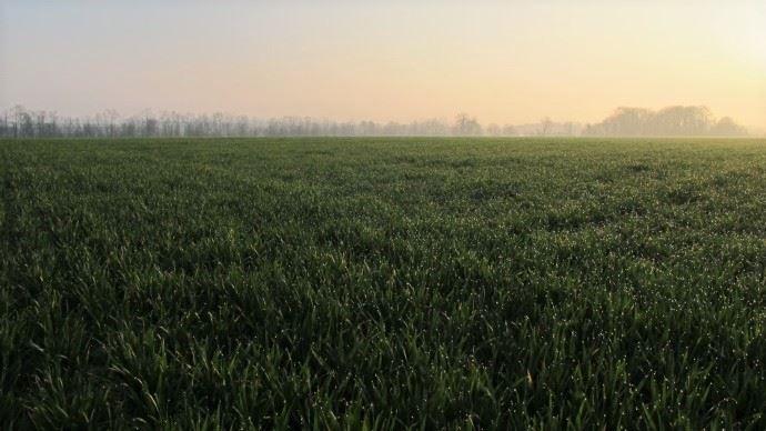 En faisant pâturer un blé au stade de début montaison, on perd en moyenne 19% de rendement en grain à la récolte suivante. (©TNC)