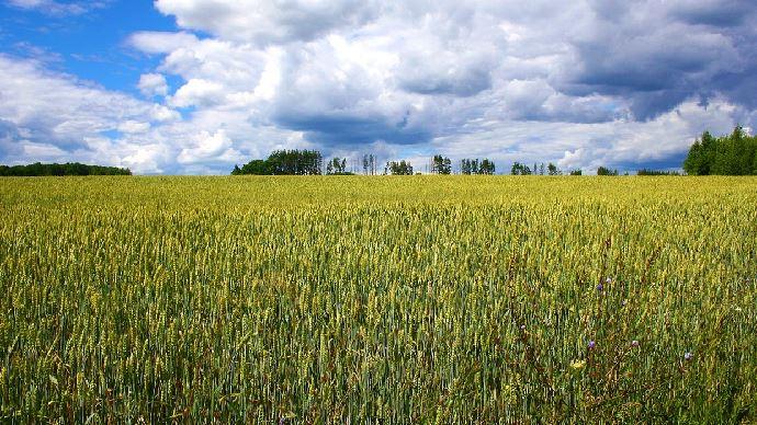 Une augmentation de 20% de la production de blé russe d'ici 5 ans, apparaît comme étant le scénario le plus probable pour Michel Portier. (©Pixabay)