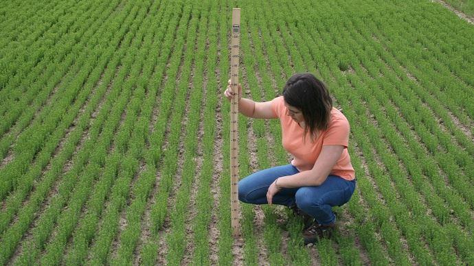 Maîtriser le peuplement du lin dès le semis pour assurer une régularité de la fibre. (©Gnis)