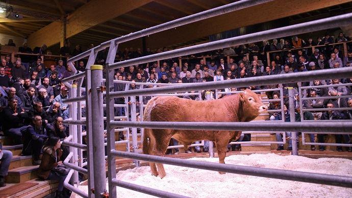 N'hésitez pas à nous informer d'une vente de taureaux ou de vaches qui aurait sa place sur cette page en envoyant un mail à dscohy@terre-net-media.fr et redaction@web-agri.fr (©France Limousin sélection)