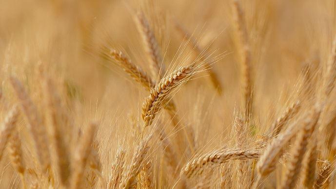 Alors que les exportations de blé tendre français sont au plus haut niveau, le marché intérieur plonge, lui, dans la déprime. (©Pixabay)