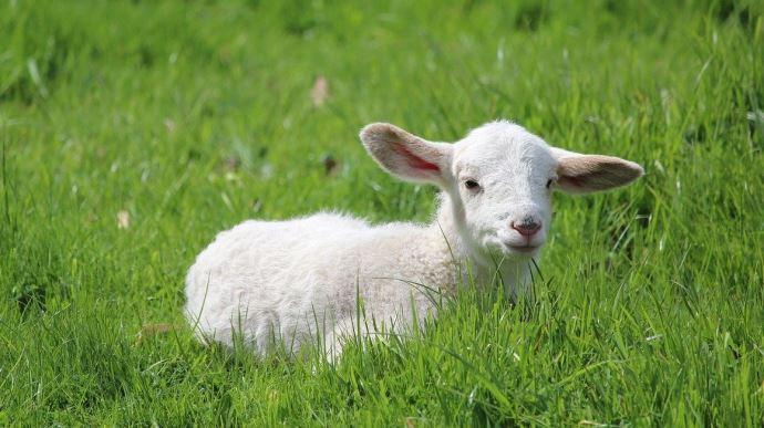 L'agneau, viande traditionnellement consommée à Pâques, souffre d'une baisse de consommation liée au coronavirus. (©Pixabay)
