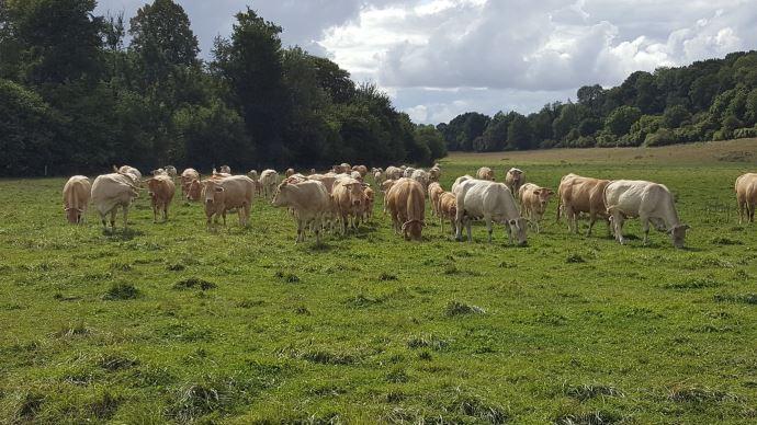 Alimentation, surveillance et soin aux animaux, mise à l'herbe, fauche et ensilage d'herbe... le travail des éleveurs allaitants reste le même, coronavirus ou pas! (©TNC)