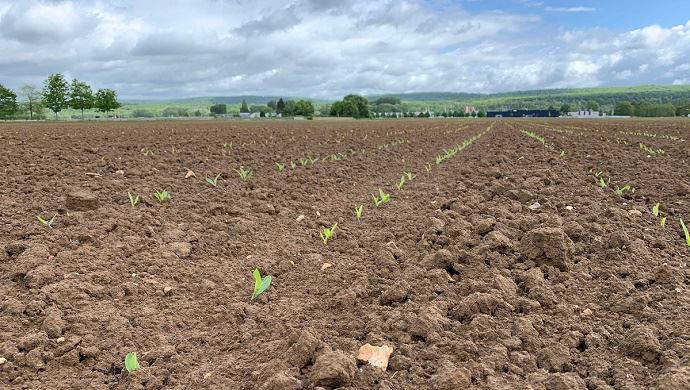 Les surfaces de maïs grain enregistrent cette année une hausse de 10,5% par rapport à 2019 et de 12,1% par rapport à la moyenne 2015-2019. (©TNC)