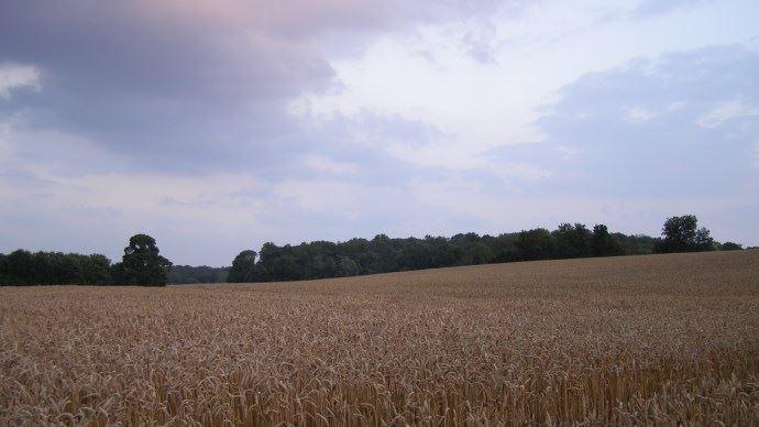 Le temps favorable aux cultures de blé dans les zones productrices laisse présager une hausse de l'offre. (©TNC)