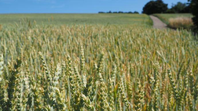 La crise liée au Covid-19 renforce la dynamique des exportations de blé français vers les pays tiers. (©Pixabay)
