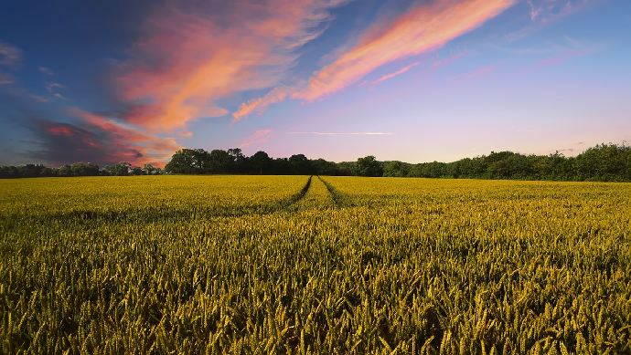 La production européenne de blé 2020 est attendue en baisse de 3,5% comparé à la moyenne quinquennale. (©Pixabay)
