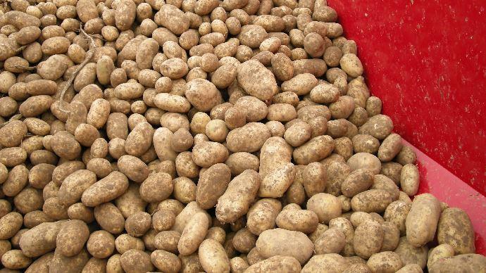 Rien que sur le continent, plus de deux millions de tonnes de pommes de terre risquent de ne pas être transformées à la fin de la saison selon le NEPG. (©Pixabay)
