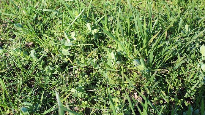 Semer une prairie sous couvert d'un mélange céréales-protéagineux permet d'obtenir plus de fourrage, un gain non négligeable pour les élevages qui subissent les sécheresses à répétition. (©TNC)