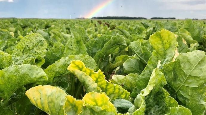À trois mois de la récolte, la progression de la jaunisse de la betterave dans toutes les régions betteravières est particulièrement alarmante, s'inquiète la CGB (©CGB)