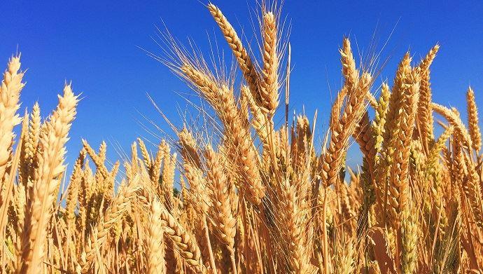Le record mondial de rendement en blé de nouveau battu. (©Pixabay)