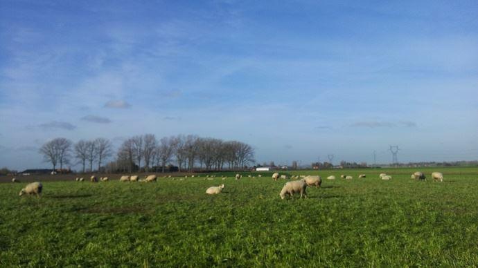 Les intercultures peuvent contribuer à nourrir le troupeau ovin, à faible coût, une partie importante de l'année. (©Gnis)
